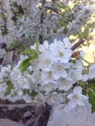Yayladan armut çiçekleri