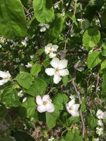 Yayladan ayva çiçekleri